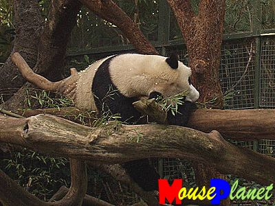 San Diego Zoo Baby Panda Exhibit: Life of a panda: It's very tiring eating and laying around all day: Hua Mei needs a nap. Photo by Lisa Perkis, copyright MousePlanet.