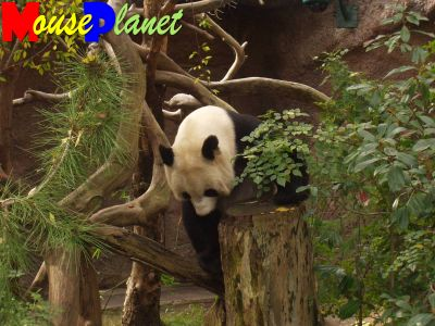 San Diego Zoo Baby Panda Exhibit: Other times Bai Yun climbs up her log tree and seems to encourage Mei Sheng to follow her. Photo by Lisa Perkis, copyright MousePlanet.