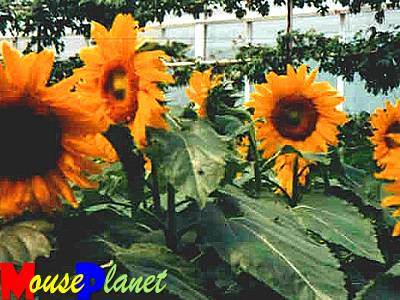 Sunflowers growing in The Land.