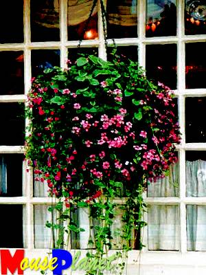 A hanging basket at the Rose & Crown.